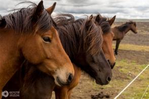 koń islandzki
